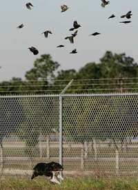 **ADVANCE FOR WEEKEND EDITIONS JAN. 12-13**Radar screams along a border fence as a flock of grackles and other birds take to the air on Dec. 17, 2007, at Southwest Florida International Airport, in Fort Myers, Fla.  The 9-year-old border collie is taught to push them out of the airport and not towards the runway.(AP Photo/Daily News, Michel Fortier)** NEWS-PRESS OUT** ORG XMIT: FLNAP101